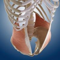 Abdominal muscle, artwork