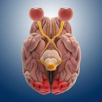 Brain and eye anatomy, artwork
