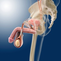 Male genitourinary system, artwork