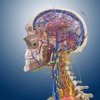 Head and neck anatomy, artwork