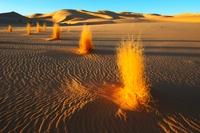 Desert plants, Algerian Sahara 01809030000| 写真素材・ストックフォト・画像・イラスト素材|アマナイメージズ