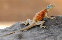 Agama lizard, Algerian Sahara