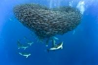 Dolphins hunting mackerel