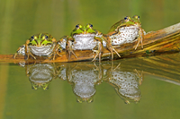 Edible frogs on a log