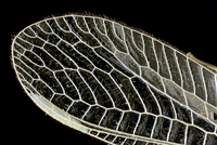 Dragonfly wing, light micrograph