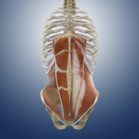 Abdominal muscles, artwork