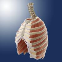 Intercostal muscles, artwork 01809030601| 写真素材・ストックフォト・画像・イラスト素材|アマナイメージズ