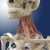 Neck muscles, artwork 01809030608| 写真素材・ストックフォト・画像・イラスト素材|アマナイメージズ