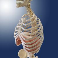 Phrenic nerves and diaphragm, artwork 01809030622| 写真素材・ストックフォト・画像・イラスト素材|アマナイメージズ