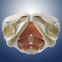Male pelvic floor, artwork