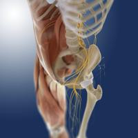 Lower body anatomy, artwork