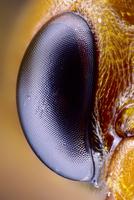Wasp eye 01809030781| 写真素材・ストックフォト・画像・イラスト素材|アマナイメージズ