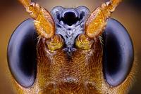 Wasp head 01809030782| 写真素材・ストックフォト・画像・イラスト素材|アマナイメージズ