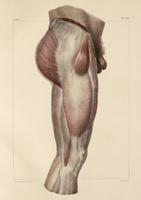 Fascia of the thigh, 1831 artwork