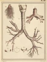 Bronchial lung anatomy, 1825 artwork