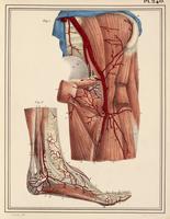 Femoral and foot arteries, 1825 artwork