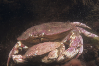 Rock Crab mating (Cancer irroratus)