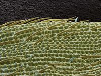 米粒 走査型電子顕微鏡写真