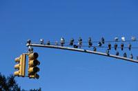 信号機にとまるハトの群れ ニューヨーク アメリカ