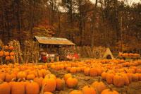 収穫されたハロウィンのカボチャ 01815000961| 写真素材・ストックフォト・画像・イラスト素材|アマナイメージズ
