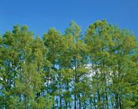 新緑のくぬぎ林と青空 初夏 緒方町 大分県 01820001427| 写真素材・ストックフォト・画像・イラスト素材|アマナイメージズ