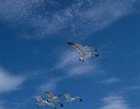 青空を飛翔するウミネコ 陸中海岸 岩手県