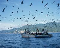 漁船に群がるウミネコ 陸中海岸 岩手県