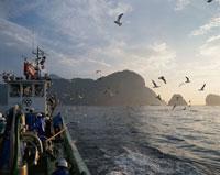 漁船に群がるウミネコ 三陸海岸 岩手県