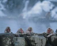 地獄谷野猿公苑の温泉につかるサルたち 山ノ内町 長野県