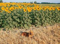 向日葵畑と犬