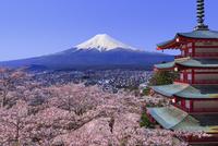 新倉富士浅間神社と富士山 桜