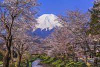 忍野お宮橋から望む富士山と桜並木