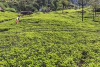 茶畑 01888613381| 写真素材・ストックフォト・画像・イラスト素材|アマナイメージズ