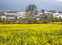 南屏村の家並みと菜の花畑