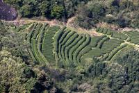 天遊峰から撮影/茶畑/俯瞰