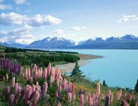 マウントクックとプカキ湖とルーピンの花畑 ニュージーランド