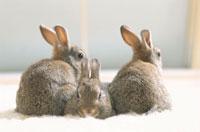 ウサギ 01917046883  写真素材・ストックフォト・画像・イラスト素材 アマナイメージズ