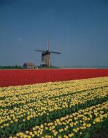 チューリップ畑と風車 アルクマール近郊 オランダ