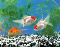3匹の金魚(白・赤・オレンジ)