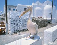 ペリカン  ミコノス島 ギリシャ