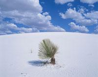 砂漠の植物 ユッカ ホワイトサンズ国定公園 アメリカ