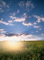 キガラシ畑と朝日