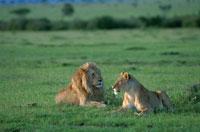 草原に寝転ぶライオンのカップル マサイマラ保護区 ケニア