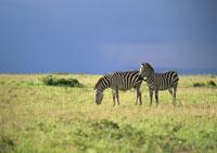 GRANT'S ZEBRA, MASAI MARA,KENYA