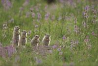 草原の中の4匹のユインタジリス イエローストーン