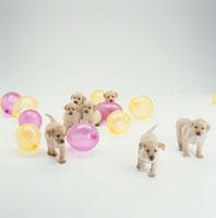 ラブラドールレトリバーの子犬たちと風船