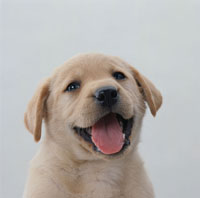 子犬のアップ(ラブラドール) 02022024066| 写真素材・ストックフォト・画像・イラスト素材|アマナイメージズ