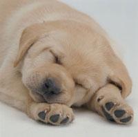 眠る子犬のアップ(ラブラドール)