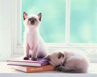 窓辺の2匹のシャム猫と本