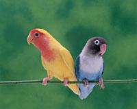 小桜インコとブルーボタンインコ 02022033763| 写真素材・ストックフォト・画像・イラスト素材|アマナイメージズ